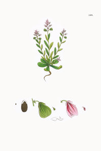 Fresh Botanical Print - Small Bitter Milkwort