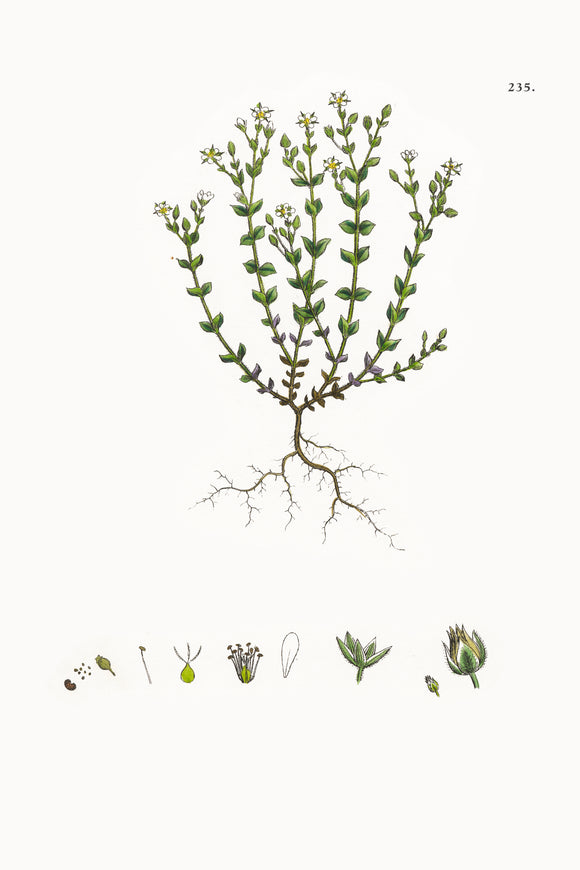 Fresh Botanical Print - Thyme-leaved Sandwort