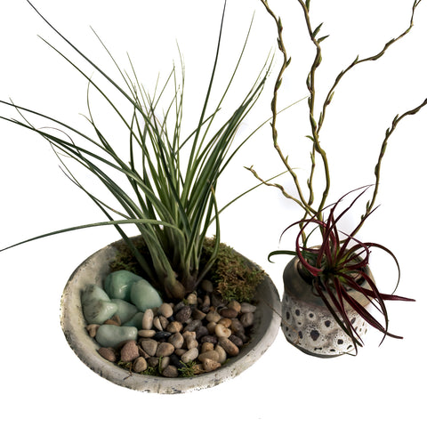 Potted Air Plants