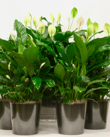 Peace Lily Plant  - Potted