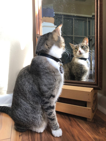 cat looking in mirror