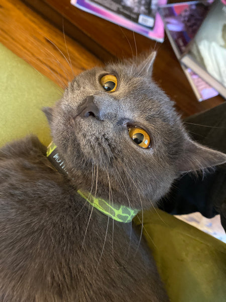 cat with green collar