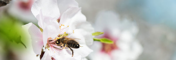 Bee pollinating almond plant