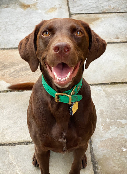 Brown Dog Green Collar