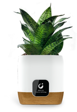 Load image into Gallery viewer, Potted Plant for Plant Ionizer SP2800