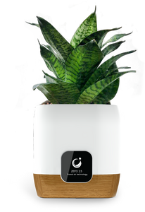 Potted Plant for Plant Ionizer SP2800