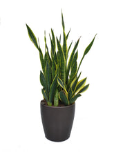 Load image into Gallery viewer, Potted Plant for Plant Ionizer SP4000