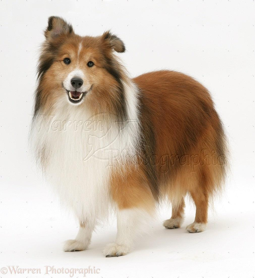 sheltie squeaky toy