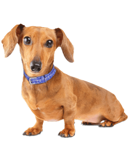 Mini Me Squeaky Breed Dog Toy: Dachshund / Doxie