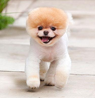 Mini Me Squeaky Dog Toy: Boo the Pomeranian