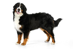 Mini Me: Bernese Mountain Dog