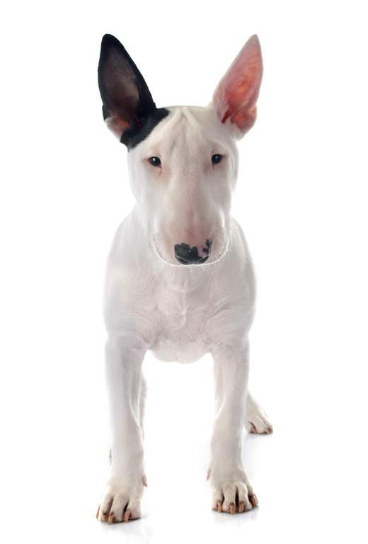 Mini Me Squeaky Breed Dog Toy: Bull Terrier