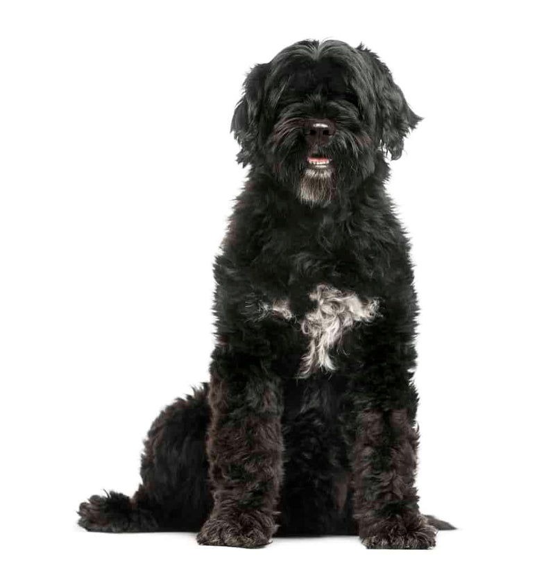 Mini Me Squeaky Breed Dog Toy: Portuguese Water Dog