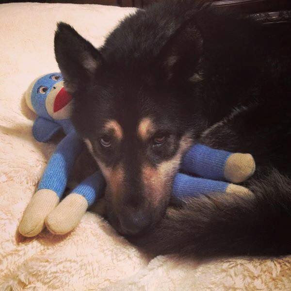 Wish List: Medium SQUEAKY Dog Toys for West Jersey Volunteers for Animals