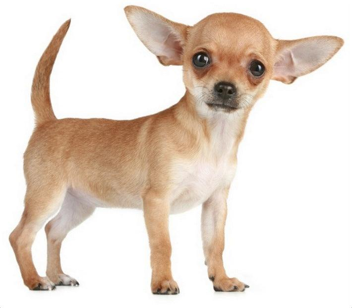 Mini Me Squeaky Dog Breed Toys: Chihuahua