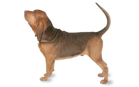 Mini Me: Bloodhound