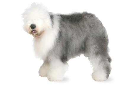 Mini Me Squeaky Breed Dog Toy: Old English Sheepdog