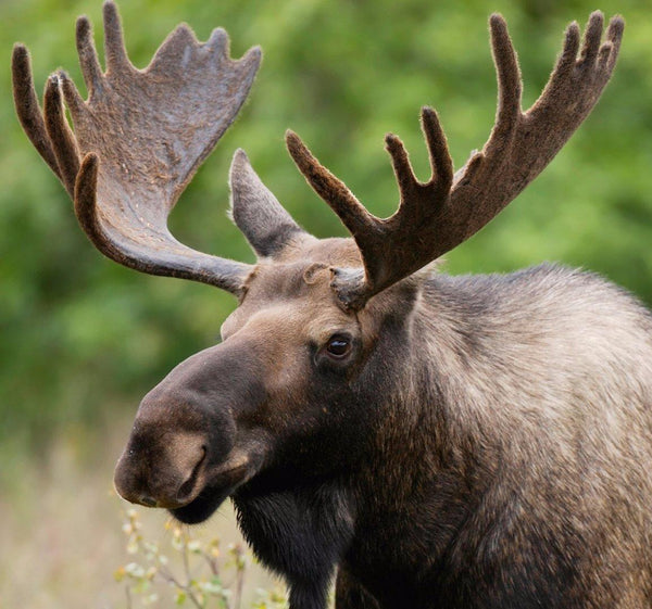 Naturally Shed Moose Antlers Glad Dogs Nation
