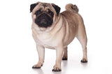 Mini Me Squeaky Dog Toys: Pug