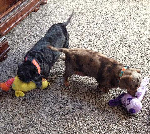 Wish List: Small SQUEAKY Stuffed Dog Toys for SCTD Dachshund Rescue