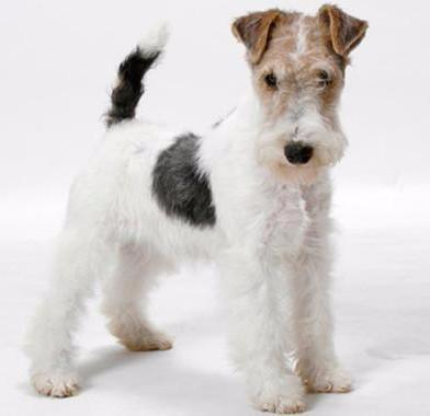Mini Me: Fox Terrier