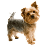 Mini Me Squeaky Breed Dog Toy: Yorkie