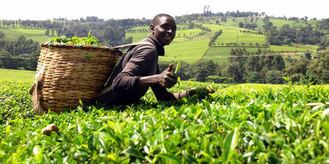 Tea farmer in Kenya wears a backpack basket full of tea leaves in a field of tea