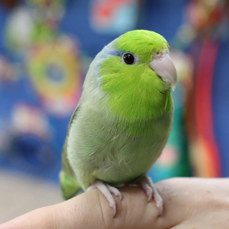 Pacific Parrotlet - Exotic Wings and Pet Things
