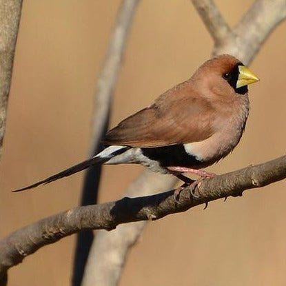 Masked Grass Finch