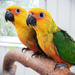 Jenday Conure - Exotic Wings and Pet Things