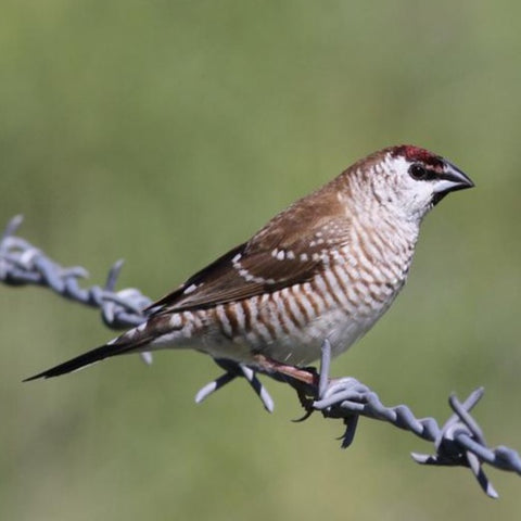 Cherry/Plum-Headed Finch