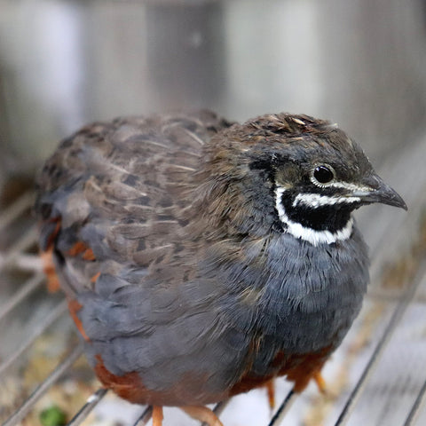 Cage Bird - Button Quail