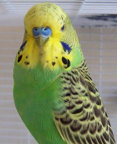 Cage Bird - English Budgie