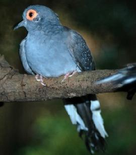 Diamond Dove/Mutation - Geopelia cuneata