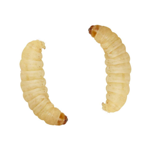 Waxworm - Galleria mellonella - Exotic Wings and Pet Things