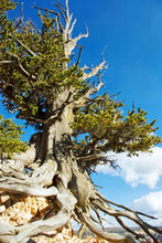 Load image into Gallery viewer, Bristlecone Pine