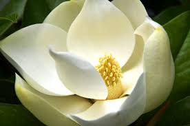 Thumbelina's Boat - The Magnificent Magnolia