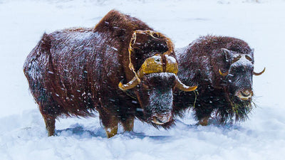Men's Outdoor Apparel Company & Alaska Non-Profit Team Up To Support Muskox & Wildlife Conservation