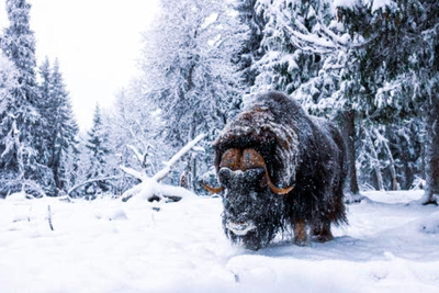 Meet Härje, 12-Year Old Muskox Bull and Myskoxcentrum Superstar