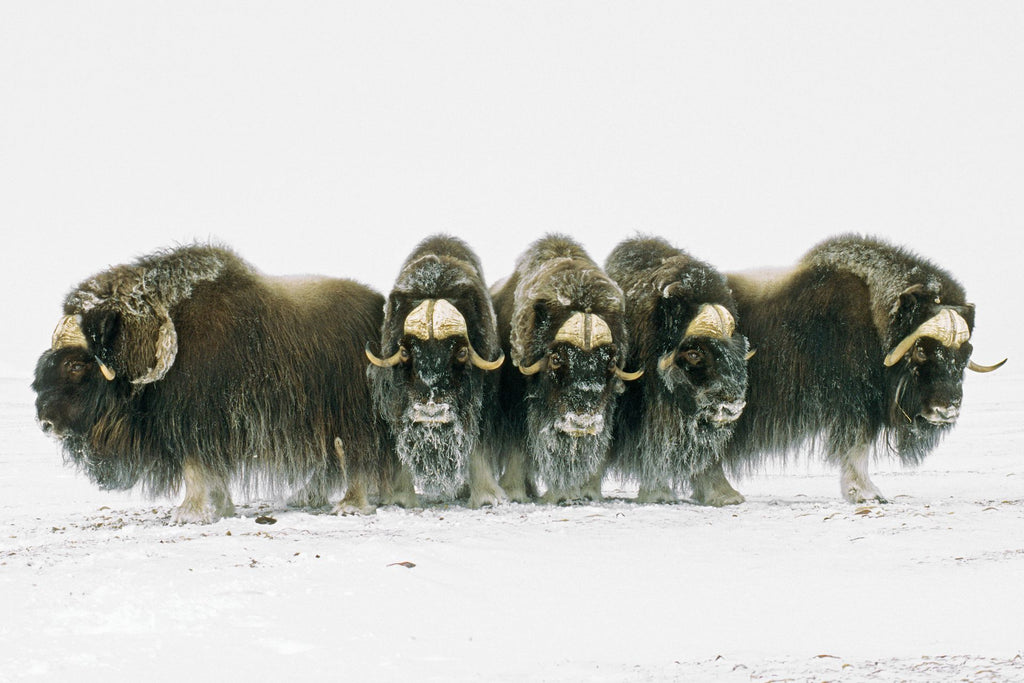 MuskOx State of Climate Change