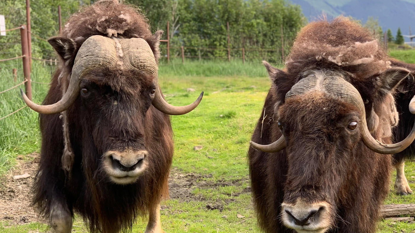 Two MuskOxen together in a field. Why We Are Named MuskOx. Men's Outdoor Apparel.