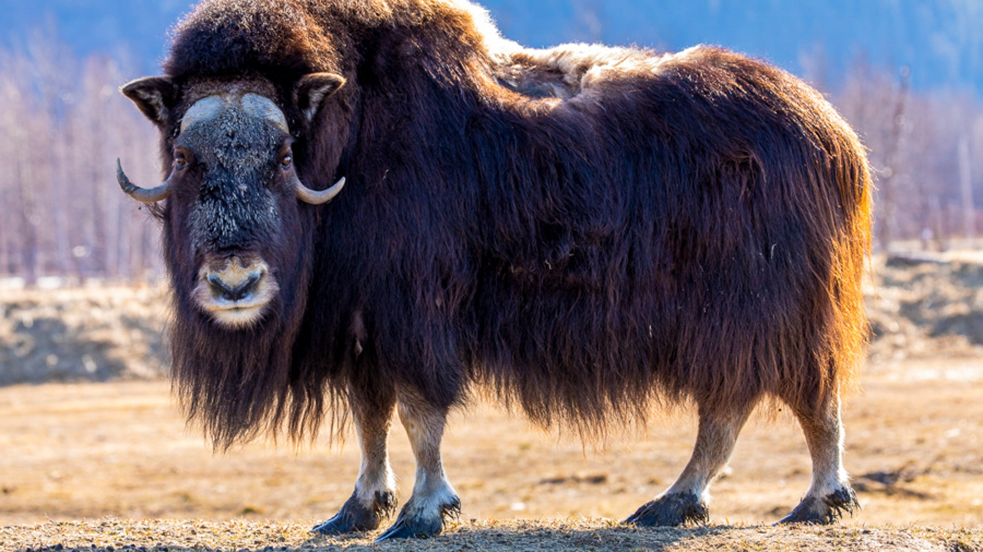 Muskox standing in warmer weather. MuskOx Men's apparel. Muskox insulation