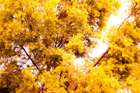 11 Yellow Trees