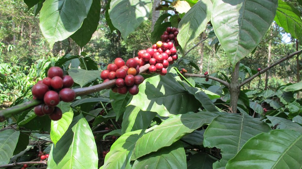 From bean to cup – exploring the roots of coffee harvesting
