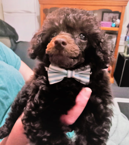 Teddy The Toy Poodle's Blog Page https://mryoung.assicmyshop.com/