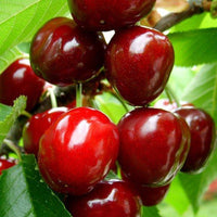 20 Pcs/Bag Cherry Seeds Home Indoor Fruit Bonsai Dwarf Cherry Tree Seed Planting