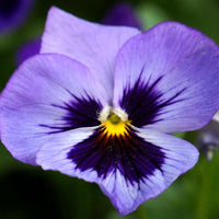 100Pcs Pansy Seeds Mix Color Wavy Tricolor Flower Seed Bonsai Potted