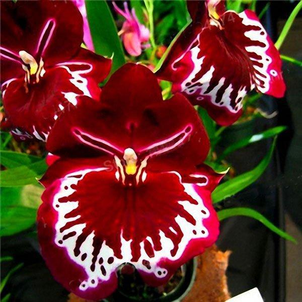 200pcs/Bag Rare Orchid Bonsai Plant Seeds Natural Growth Flower Seeds for Home Garden
