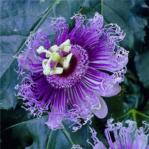 50Pcs/Pack Passion Flower Seed Garden Rare Passiflora Incarnata Plants Seeds
