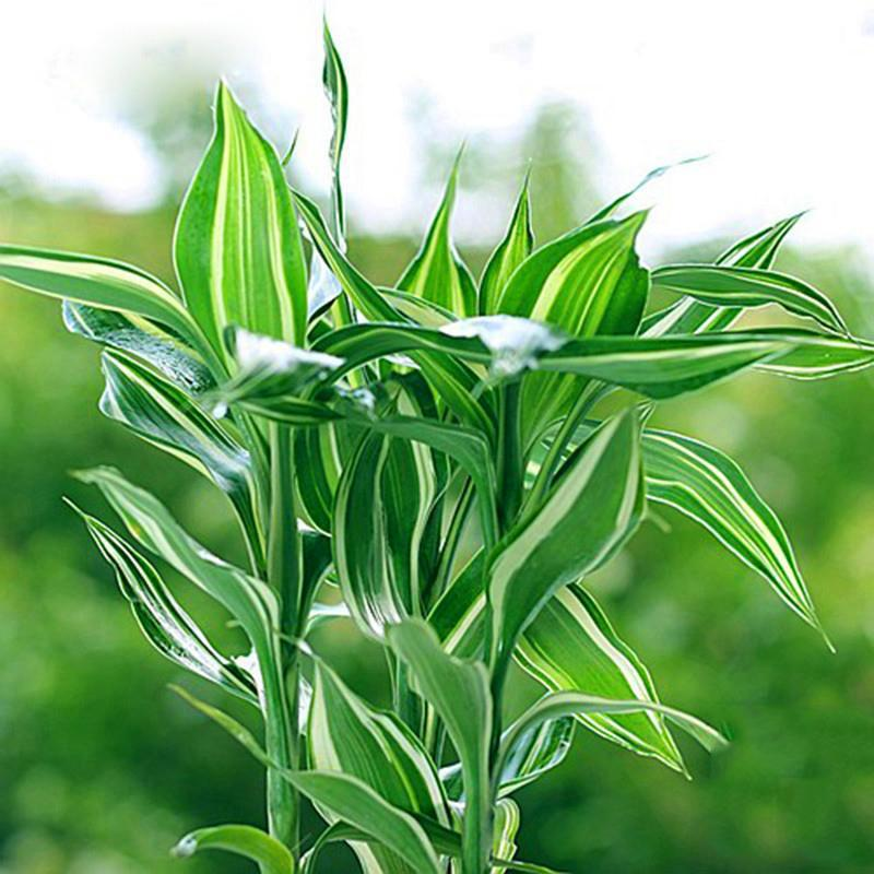 30 Pcs Rare Lucky Bamboo Bonsai Absorb Dust Tree Plant Anti Radiation Home Garden Seeds